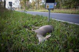 Hert doodgereden op de Zeeweg in Overveen